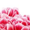 shikuramen_pink_5